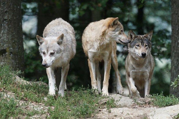 Dr Mysłajek: podchodźmy ostrożnie do rewelacji o atakach wilków na ludzi